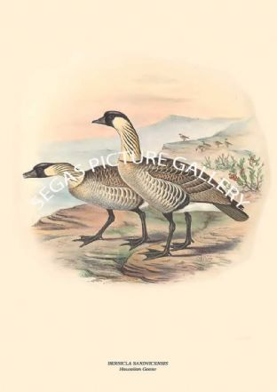BERNICLA SANDVICENSIS - Hawaiian Goose